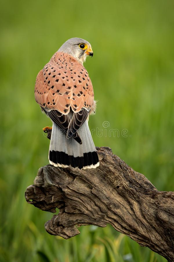 Beautiful profile of a kestrel in the nature stock photography