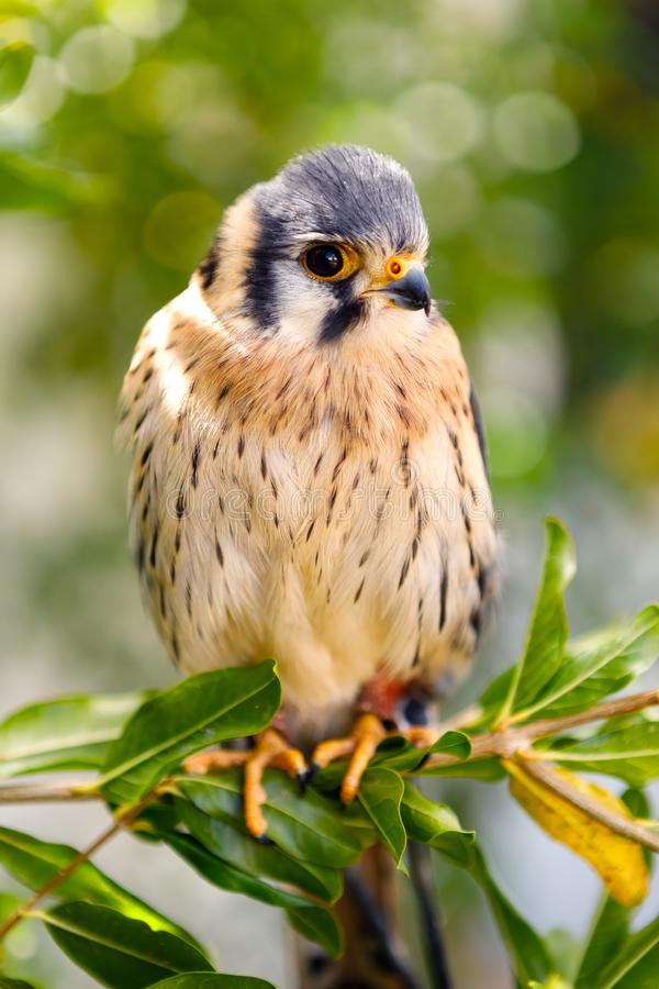 Beautiful profile of a kestrel in the nature royalty free stock photo