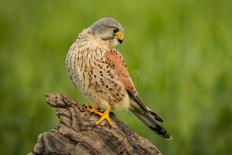 Beautiful profile of a kestrel in the nature royalty free stock photos