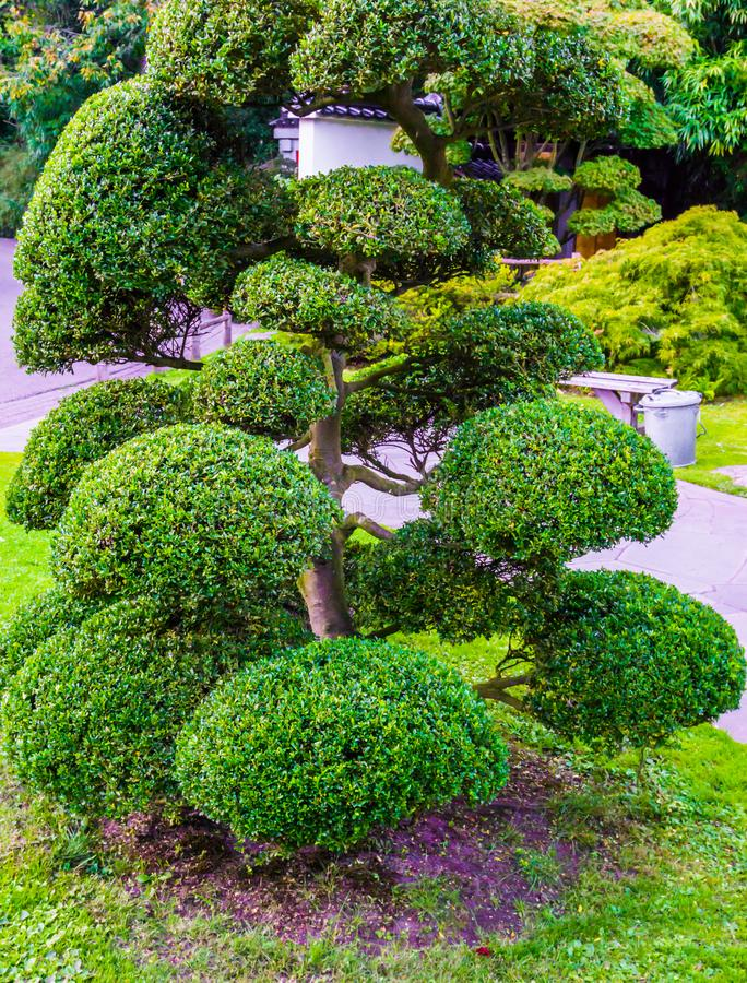 Beautiful pruned tree with ball bushes in japanese style amazing garden decoration royalty free stock image