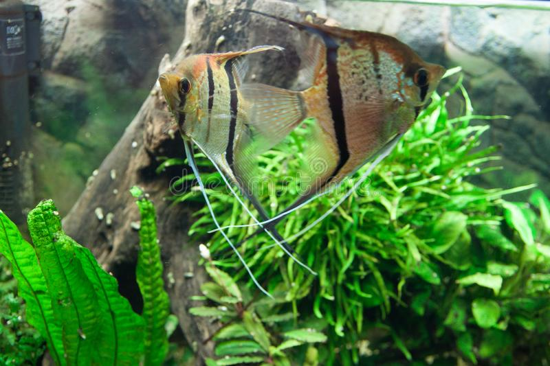 Pterophyllum scalare royalty free stock photos