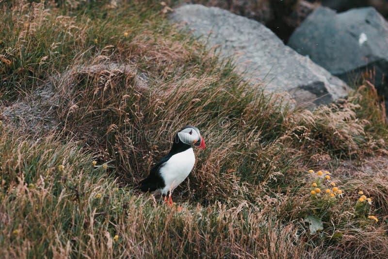 beautiful puffin bird standing on grass vik dyrholaey reynisfjara stock photos