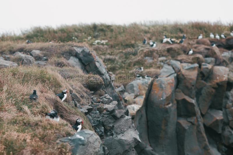 Beautiful puffins birds on grass and rocks, vik dyrholaey, reynisfjara. Beach, iceland stock images