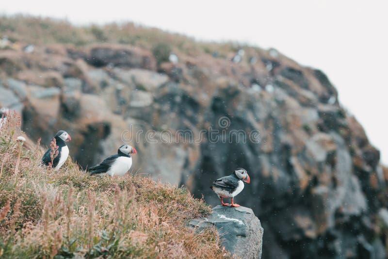 Beautiful puffins on cliff and grass,vik dyrholaey, reynisfjara. Beach, iceland royalty free stock photos