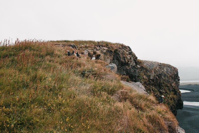 Beautiful puffins on grass and rocks in iceland, vik dyrholaey, reynisfjara. Beach, iceland royalty free stock photos