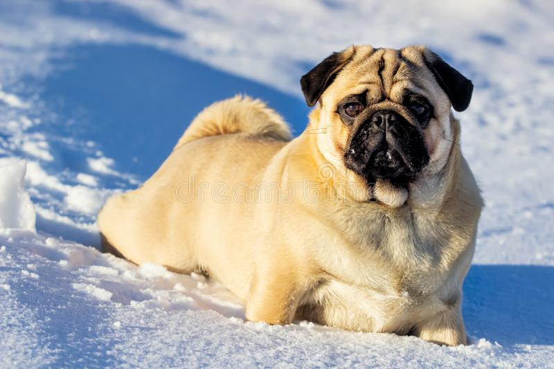 A beautiful pug dg playing outside in cold winter snow. Clouse up royalty free stock images