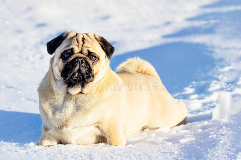 A beautiful pug dg playing outside in cold winter snow. Clouse up royalty free stock photo