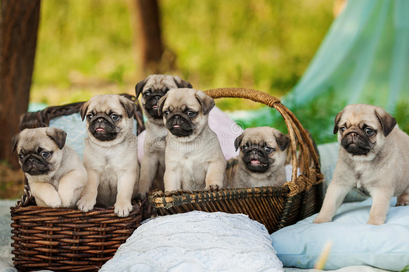 Beautiful pug dog puppies in a basket outdoors on summer day royalty free stock photos