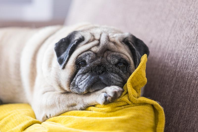 Beautiful pug looking at the camera lying down on the sofa sleeping  and alone - white dog and canine animal happy and stock image