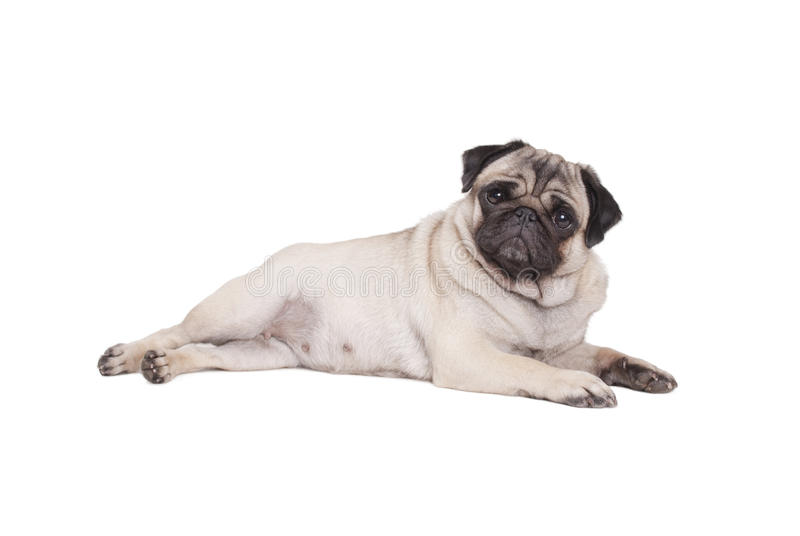 pug laying down beautiful pug puppy dog lying down isolated on white 287
