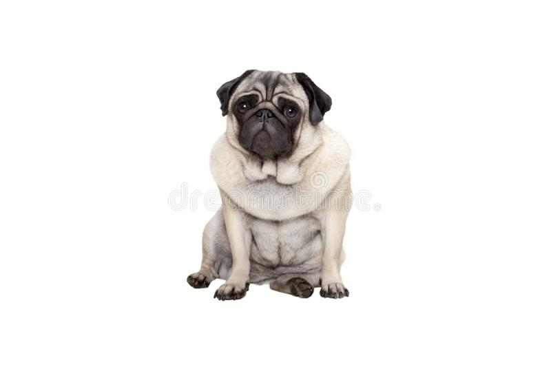 Beautiful pug puppy dog sitting down with sweet face. Isolated on white background stock image