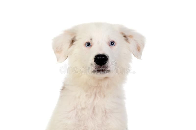 Beautiful puppy with blue eyes. And a soft white hair royalty free stock photography