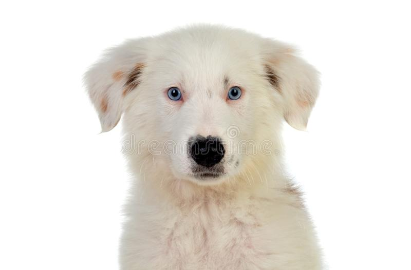 Beautiful puppy with blue eyes. And a soft white hair royalty free stock image