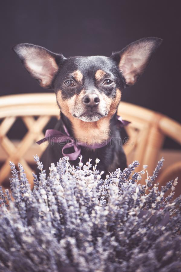 Beautiful puppy with a bouquet of lavender, looking at the camera, the theme of romantic. Congratulations stock image