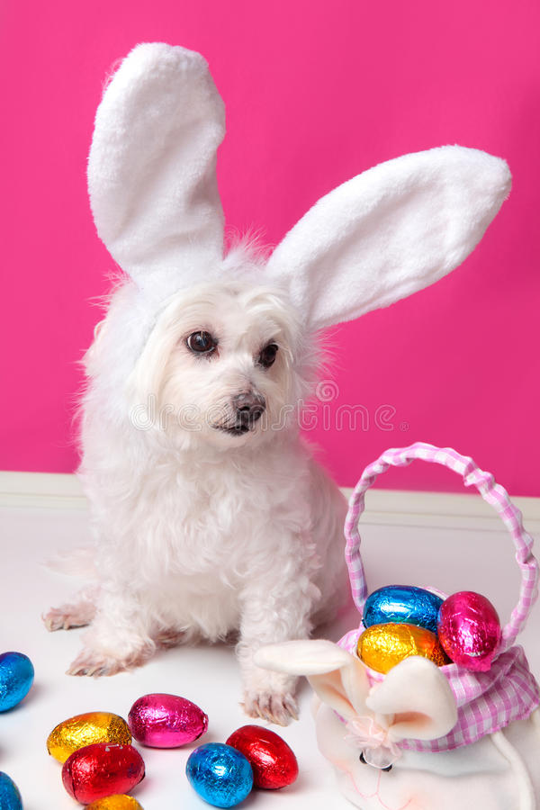 Beautiful puppy with bunny ears and easter eggs. An adorable white puppy dog sits among easter eggs. Pink background stock photos