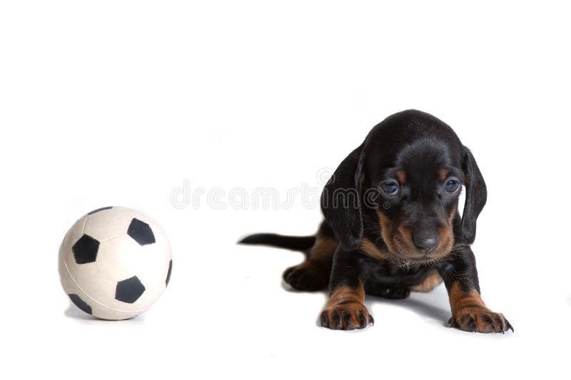 Beautiful puppy Dachshund sitting next to the ball for the game of football and looks sad. The concept of games with Pets stock image