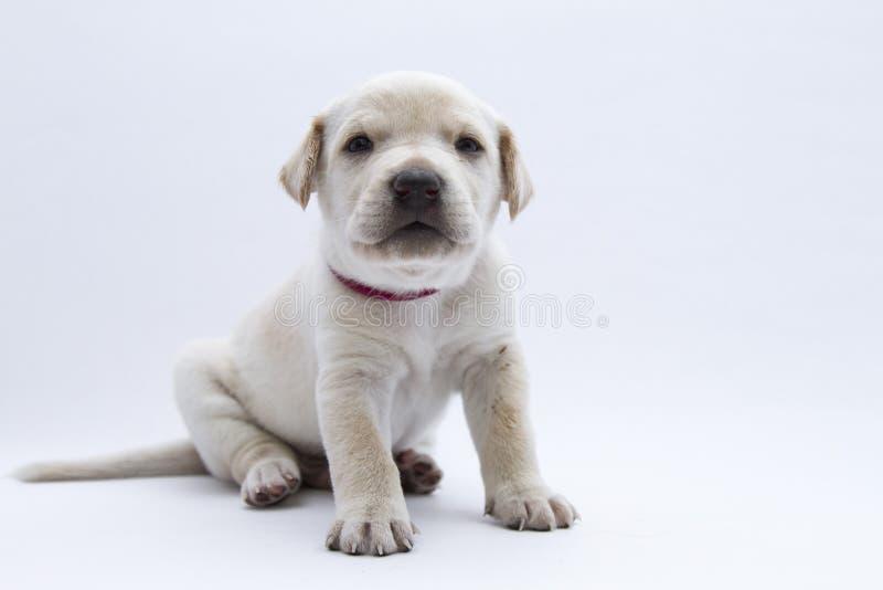 A white puppy stock photo