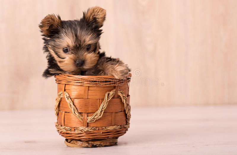 Beautiful puppy Yorkshire Terrier posing. For the camera royalty free stock photo