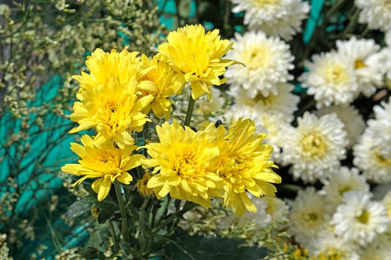 Beautiful pure white and yellow chrysanths - economic flower plant stock photo