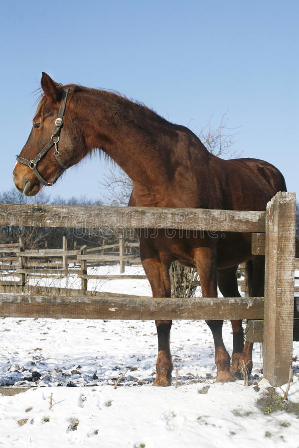 Beautiful purebred brown chestnut horse looking back in winter paddock under bl stock photo
