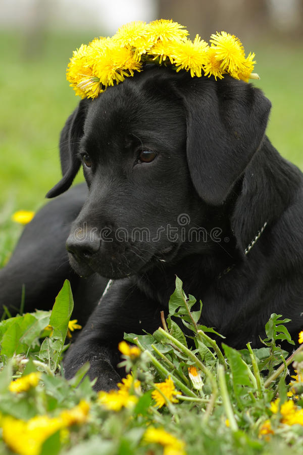 Beautiful purebred Labrador puppy lying on the grass in the summer with a wreath of dandelions on his head royalty free stock images