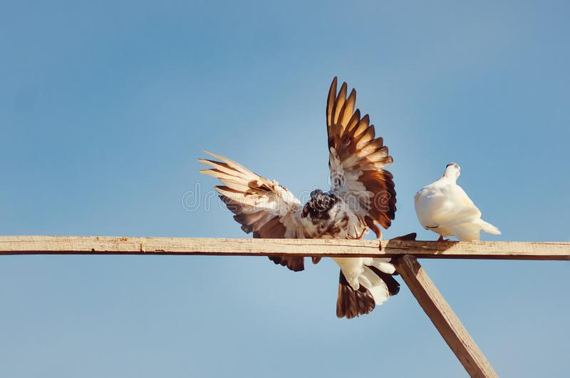 Beautiful purebred pigeon with spread wings. royalty free stock photography