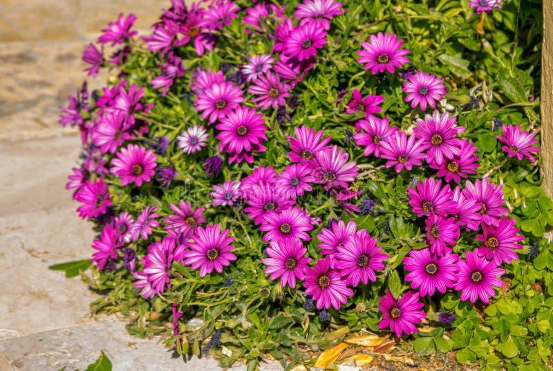 Beautiful purple African daisy Osteospermum flowers. Growing in garden. Blooming summer nature stock photos