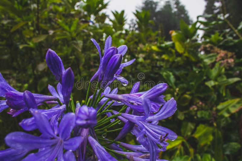 Beautiful purple african lily flower growing on the island of Sao Miguel, Azores, Portugal.  stock photo