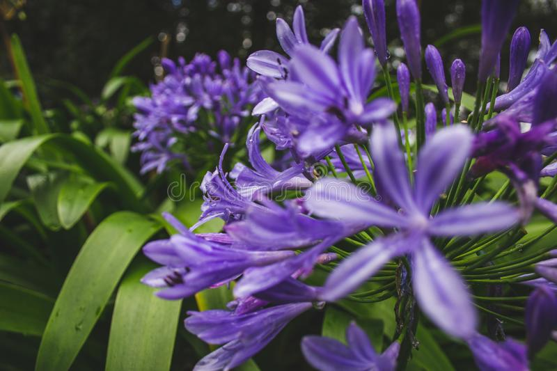 Beautiful purple african lily flower growing on the island of Sao Miguel, Azores, Portugal.  stock images