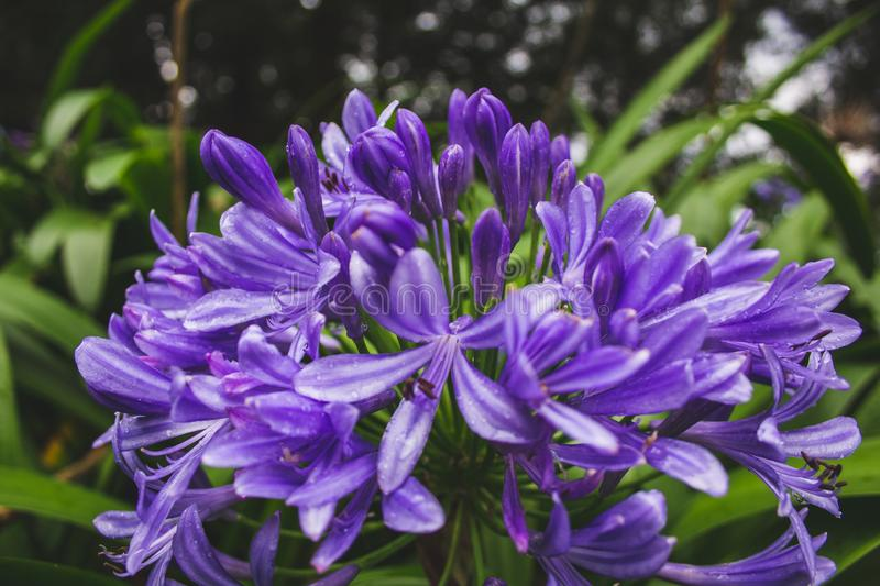 Beautiful purple african lily flower growing on the island of Sao Miguel, Azores, Portugal.  royalty free stock photos