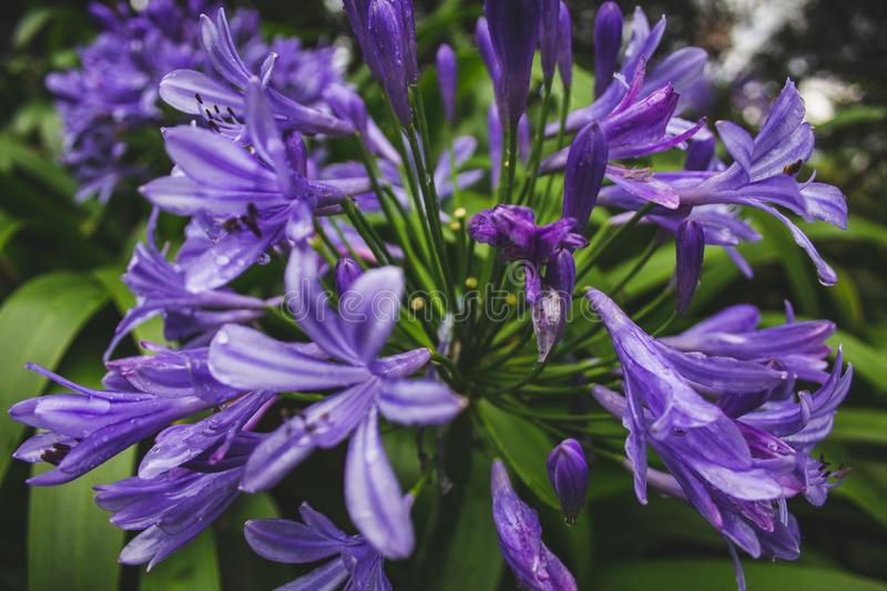 Beautiful purple african lily flower growing on the island of Sao Miguel, Azores, Portugal.  stock photos
