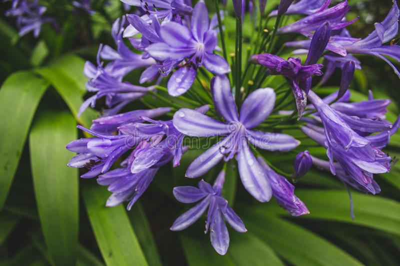 Beautiful purple african lily flower growing on the island of Sao Miguel, Azores, Portugal.  stock image