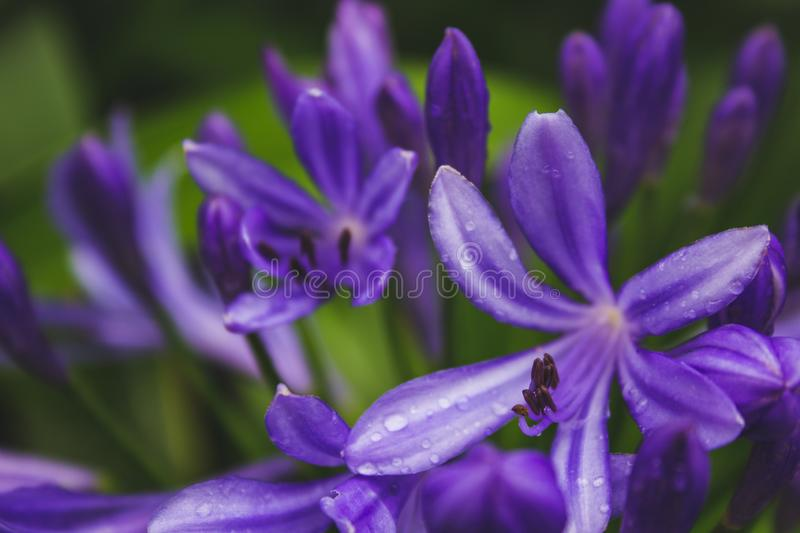 Beautiful purple african lily flower growing on the island of Sao Miguel, Azores, Portugal.  stock photography