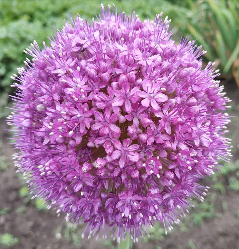 Big purple ball. Cute flower. stock photo