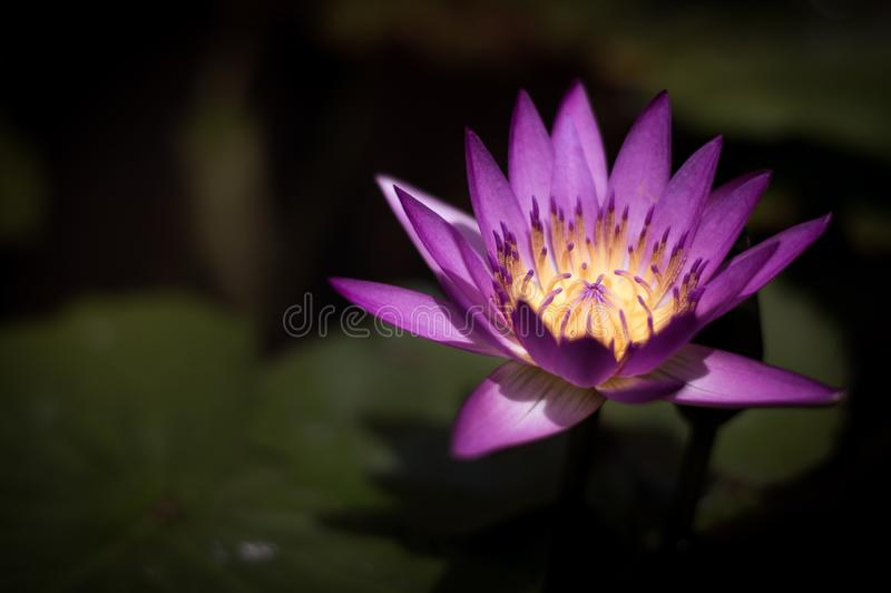 Beautiful purple blooming lotus in the pool stock image