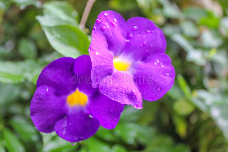 Beautiful purple bush clock vine, the flowers and trees. Are blooming in the garden royalty free stock image
