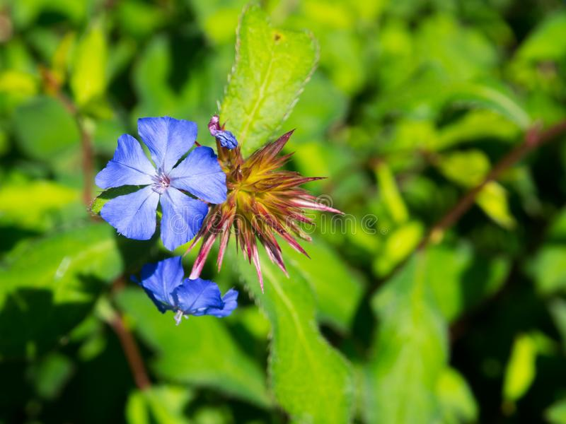 A Beautiful purple `Ceratostigma willmottianum, Chinese plumbago` is a species of flowering plant in the family Plumbaginaceae. royalty free stock photos