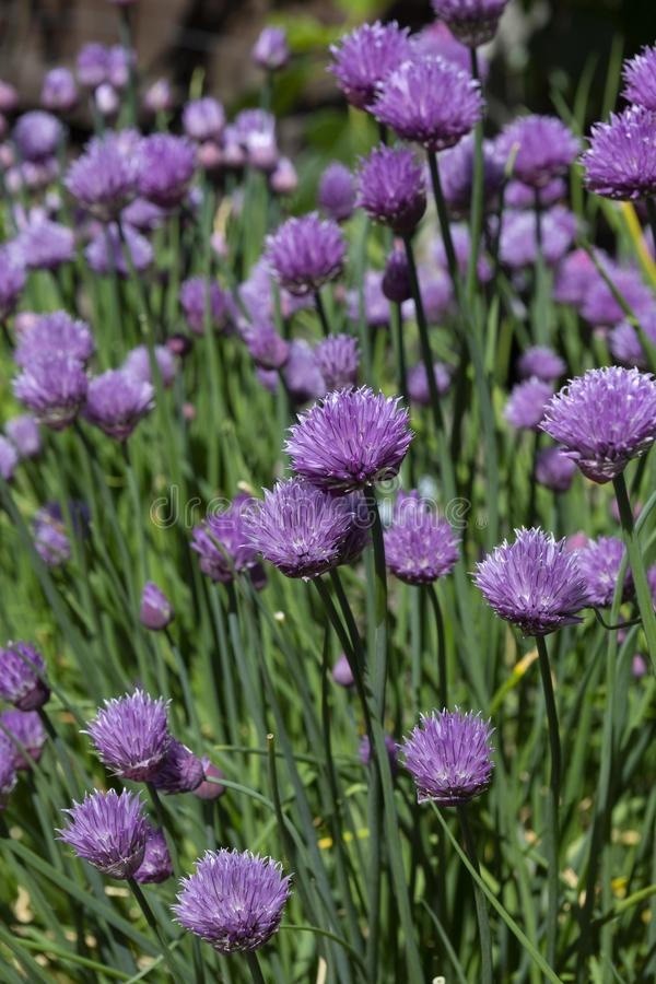 Beautiful purple chive flowers growing in the sunshine. Chives, scientific name Allium schoenoprasum, are an edible species of the genus Allium. Their close stock images