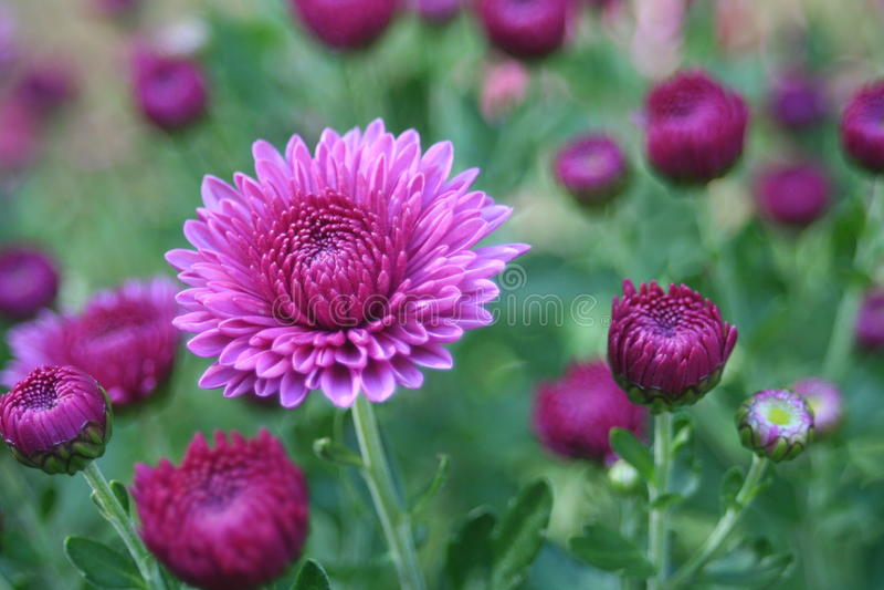 Beautiful purple chrysanthemum flowering bush with budding flowers stock photography