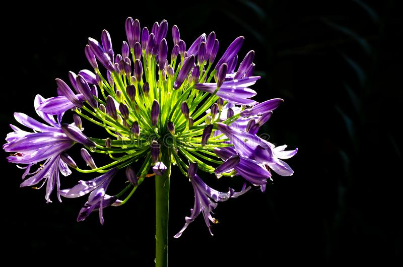 Beautiful purple color African Lily Cape blue lily blooming on dark background with space for text.  stock image