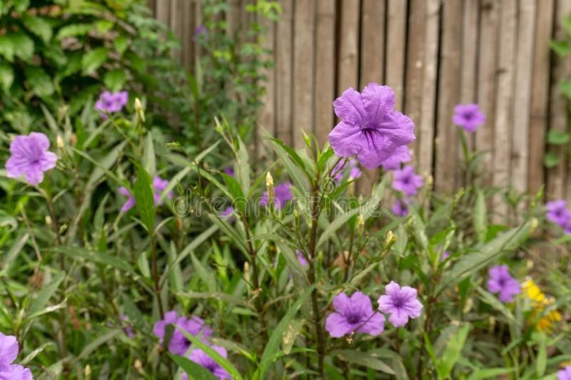 Beautiful purple color petals of Britton`s wild petunia know as Mexican bluebell, blooming on green leaves blurred background stock images