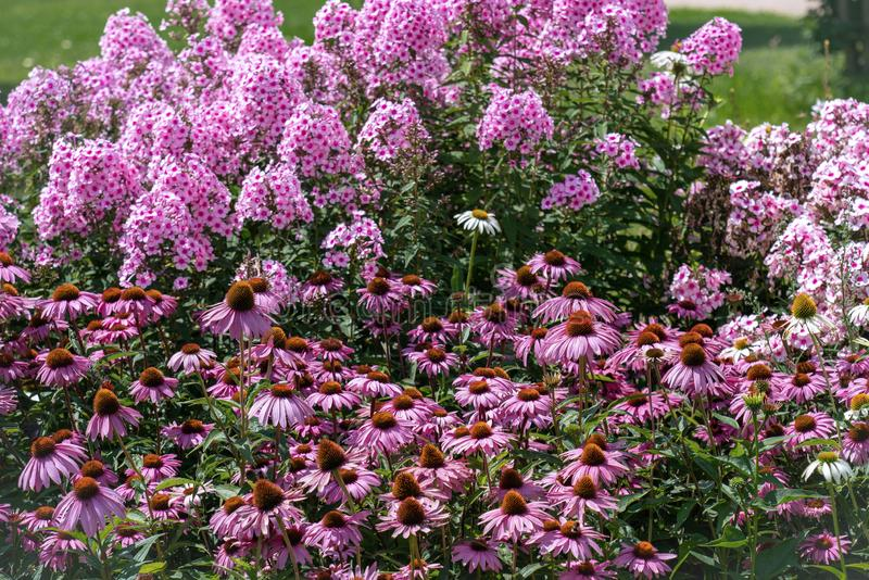 Beautiful purple cone flowers echinacea with phloxes in the background stock photography