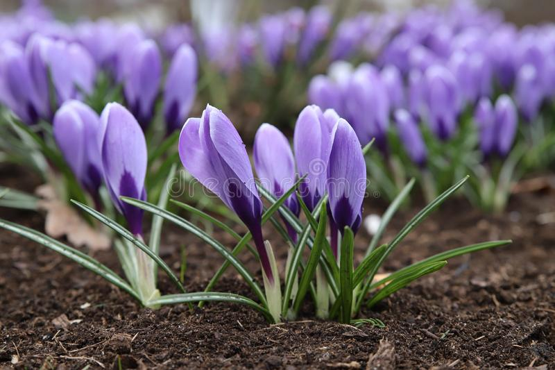 Beautiful purple crocus flower. Early spring flowers stock images