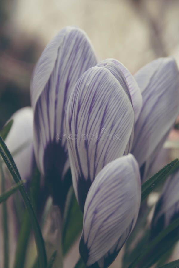 Beautiful purple crocuses in springtime stock photos