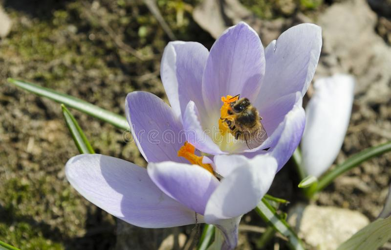 Beautiful purple crocuses in which the bee collects nectar stock photo