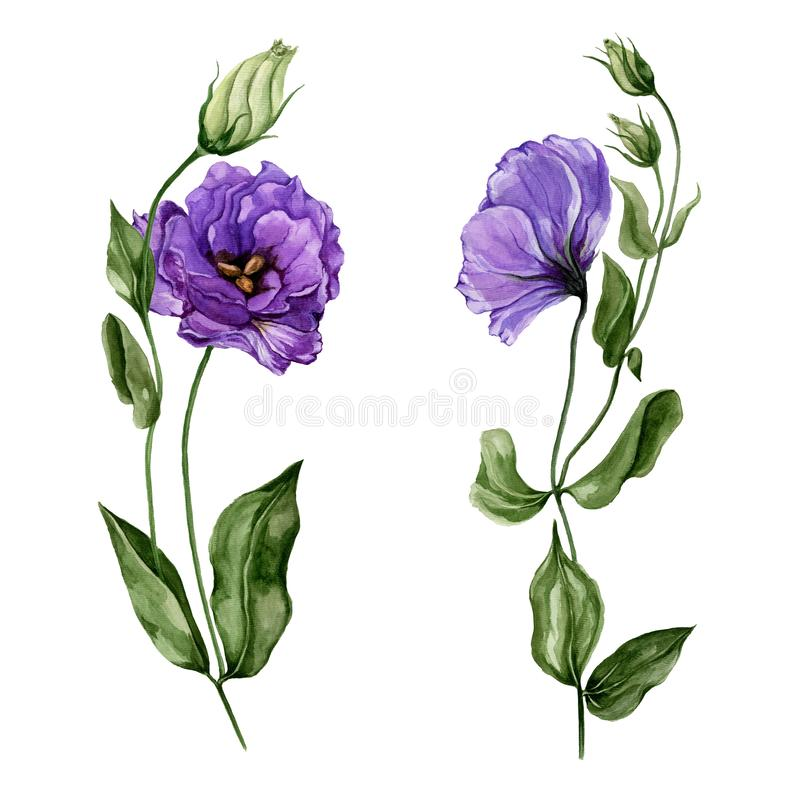 Beautiful purple eustoma flower lisianthus in full bloom on a green stem with leaves and closed buds. Botanical set. Isolated on white background. Watercolor royalty free illustration