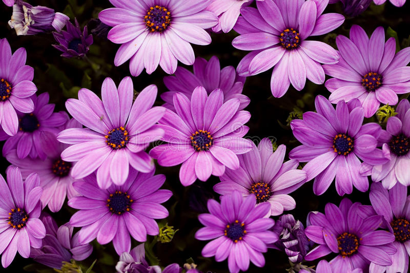 Beautiful purple flower royalty free stock images