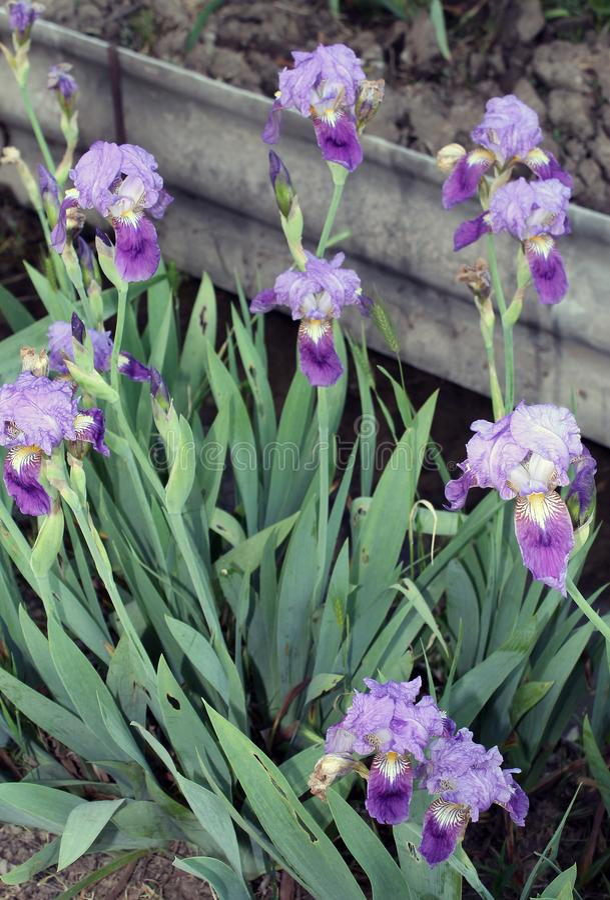 The iris flower closeup, Beautiful purple flower in bloom on a crisp spring morning. Beautiful purple flower in bloom on a crisp spring morning,The iris flower stock photo
