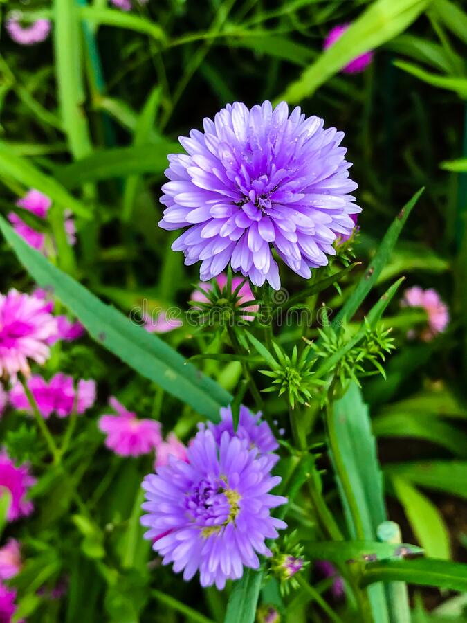 Beautiful purple flower are blooming. In the garden stock images