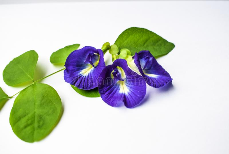 Beautiful Purple Flower, Close up Butterfly Pea Flower on White Background royalty free stock images